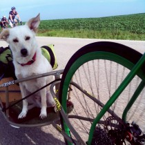 Hershal the dog's 2012 RAGBRAI adventure