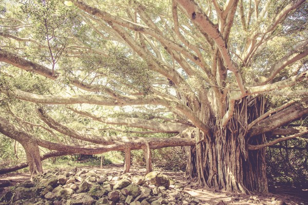 A massive Banyon tree along the trail. Notice the growth from the limbs into the ground.