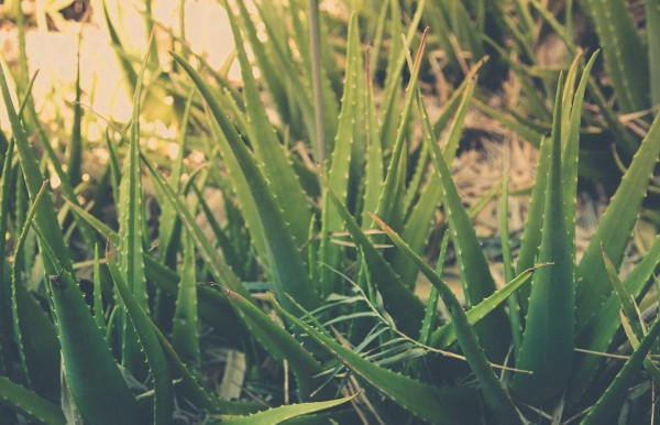 This is what Aloe looks like for those who don't know, and is great for sunburn.