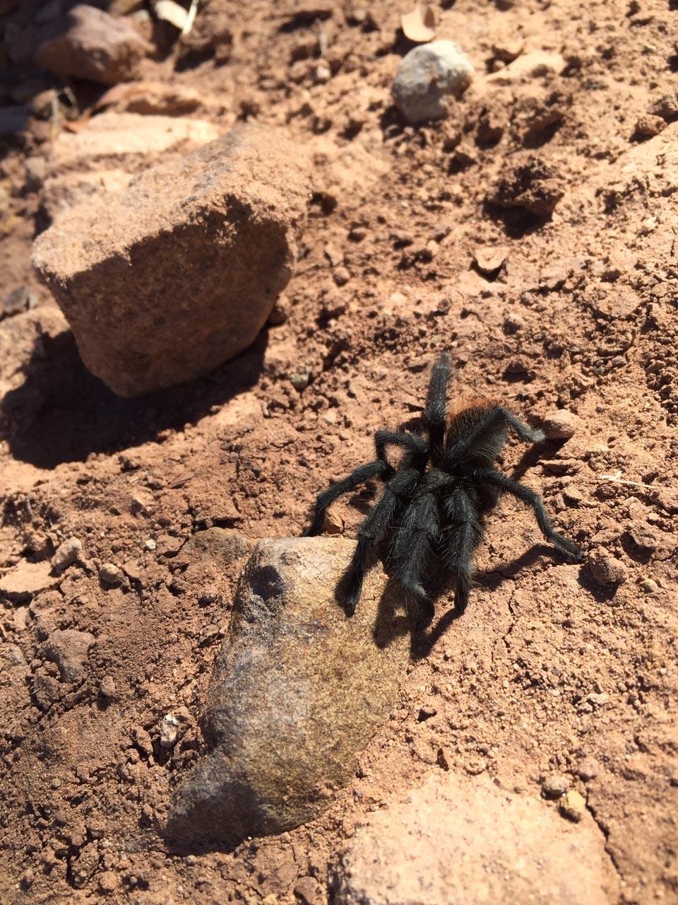 5-dolores-tarantula-img_1548