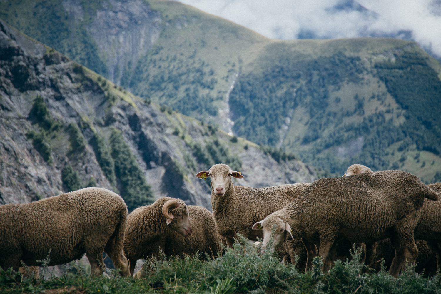 Sheep on Col de Sarenne